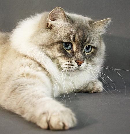 Невская маскарадная.Фотографии породы кошек Невская